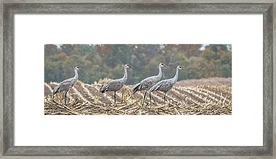 Fall Cranes 2016 Framed Print by Thomas Young