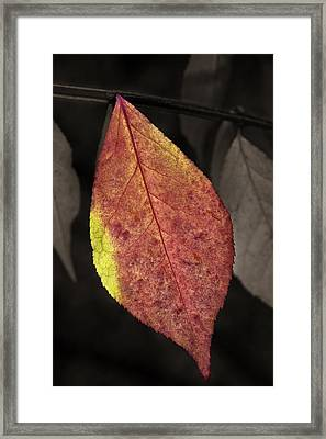 Fall Elder Leaf Framed Print