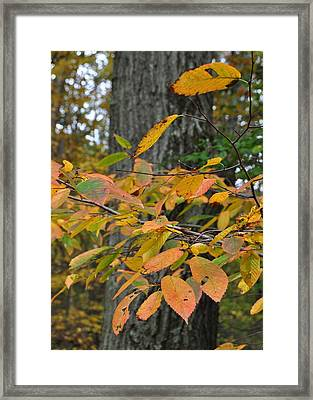 Fall Foliage Framed Print by JAMART Photography