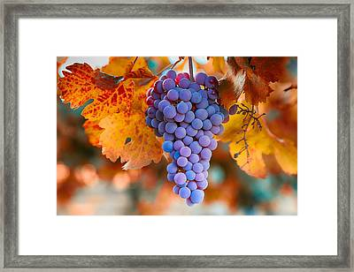 Fall Grapes From The Yakima Valley,  Framed Print by Lynn Hopwood