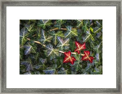 Fall Ivy Leaves Framed Print by Adam Romanowicz