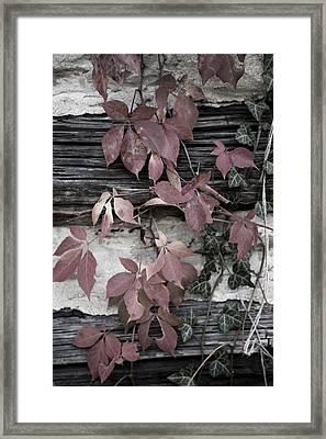 Fall Ivy Framed Print