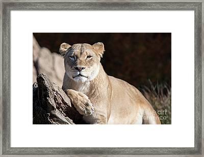 Fall Lioness Framed Print