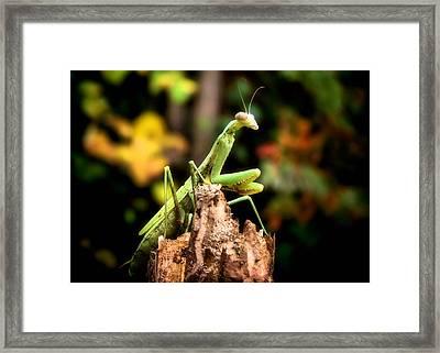 Fall Mantis Framed Print by Karen M Scovill