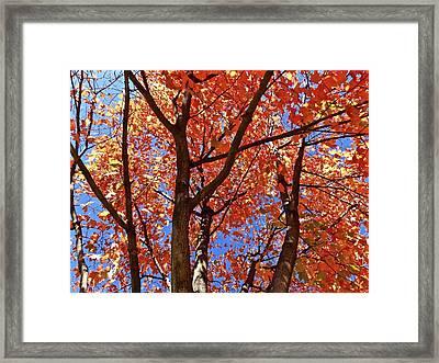 Fall Maple Framed Print