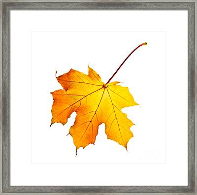Fall Maple Leaf Framed Print by Elena Elisseeva