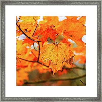 Fall Maple Leaf Framed Print