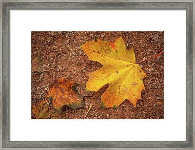 Fall Maple Leaves Framed Print