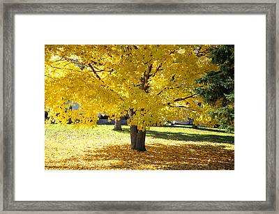 Fall Maple Tree With Bright Yellow Leaves Framed Print