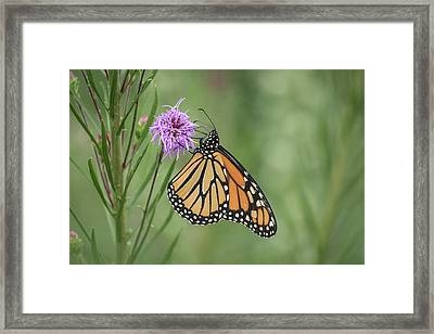 Fall Monarch 2016-2 Framed Print by Thomas Young
