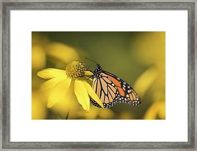Fall Monarch 2016-5 Framed Print