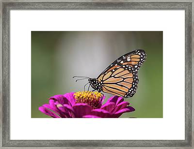 Fall Monarch 2016-6 Framed Print by Thomas Young
