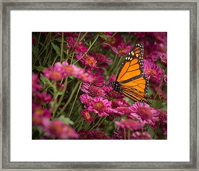 Framed Print featuring the photograph Fall Monarch  by Julie Andel