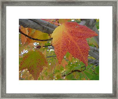 Fall On A Branch Framed Print by Connie Young