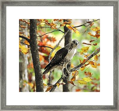 Fall Red-tailed Hawk Framed Print