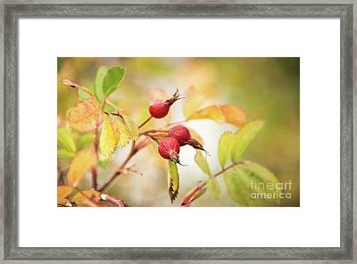 Fall Rose Hips 2 Framed Print