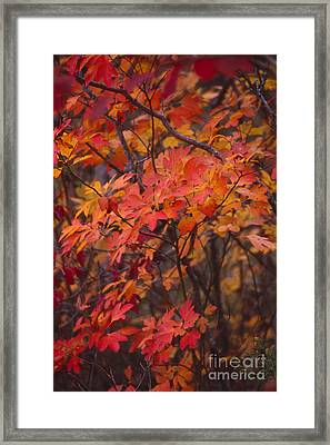Fall Sassafras Framed Print by Lowell Anderson