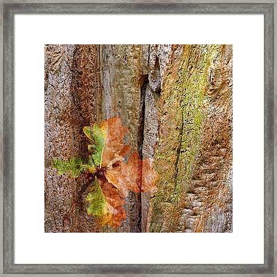 Falling Oak Leaves Square Framed Print