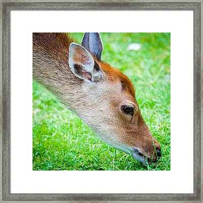 Fallow Deer Grazing British Fallow Deer Grazing On Grass In The New Forest Dorset Framed Print by Andy Smy