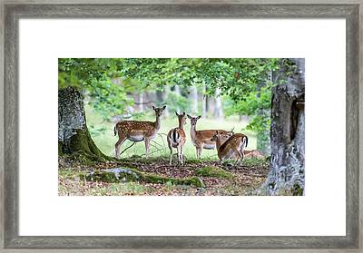 Fallow Deers Framed Print