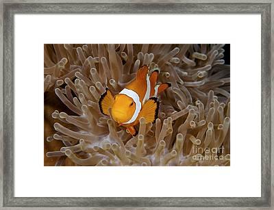 False Clownfish Framed Print by Steve Rosenberg - Printscapes
