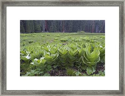 False Hellebore Veratrum Viride Plants Framed Print by Rich Reid