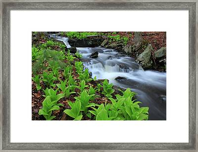 False Hellebore Wildflowers Along Forest Stream Framed Print by John Burk