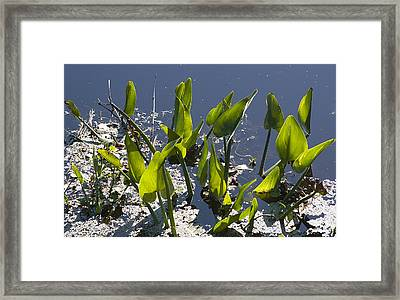 False Pickerel Weed Framed Print by Kenneth Albin