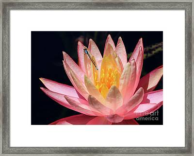 Familiar Bluet Damselfly And Lotus 2 Framed Print
