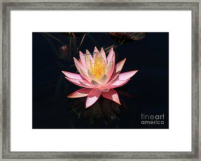 Familiar Bluet Damselfly And Lotus  Framed Print