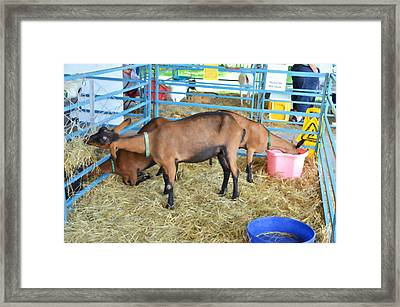 Family Of Domestic Goats Framed Print by Lanjee Chee