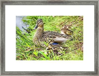 Family Of Ducks Framed Print