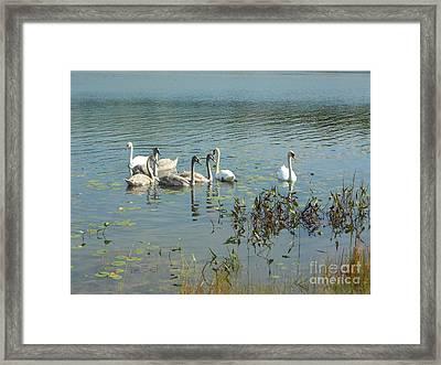 Family Of Swans Framed Print