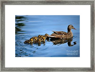 Family Swim Framed Print by Deb Halloran