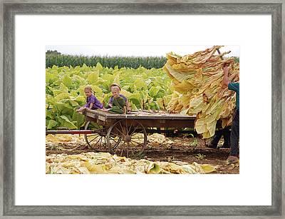 Family Tobacco Harvest Framed Print by Joyce Huhra