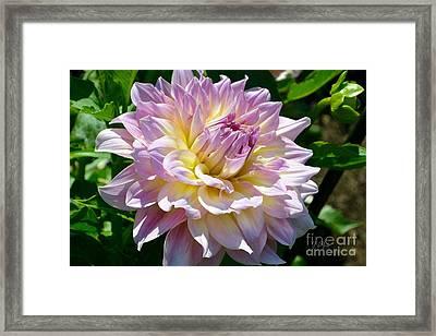 Fancy Dahlia In Pinks Framed Print