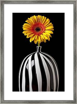 Fancy Daisy In Stripped Vase  Framed Print