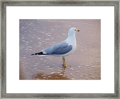 Fancy Gull Framed Print