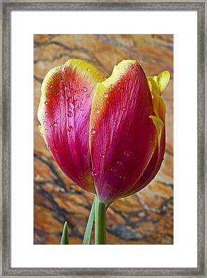 Fancy Tulip Framed Print by Garry Gay