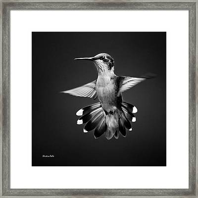 Fantail Hummingbird Square Bw Framed Print