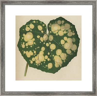 Farfugium Grande  Leopard Plant, Green Leopard Plant Framed Print by English School