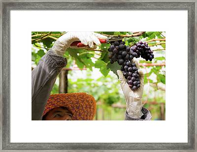 Farmer In His Vineyard Checking And Protecting His Products Framed Print