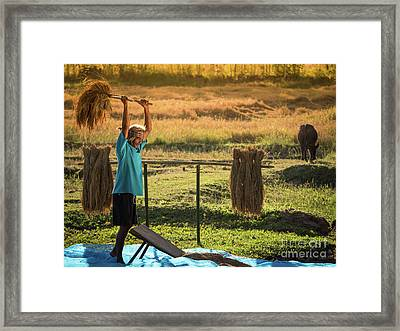 Farmers Rice Grain Threshing During Harvest Time. Framed Print by Tosporn Preede