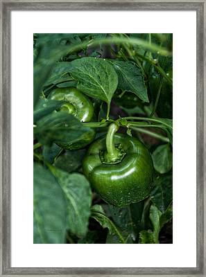 Farming Green Peppers Framed Print by Thomas Woolworth