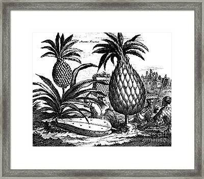Farming Large Pineapples, Illustration From A Description Of Embassies To China, 1690  Framed Print