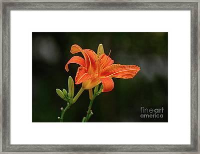 Farmington Lilly 3 Framed Print