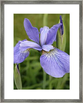 Fasinating Siberian Iris Framed Print by Bruce Bley