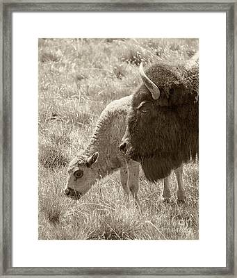 Father And Baby Buffalo Framed Print