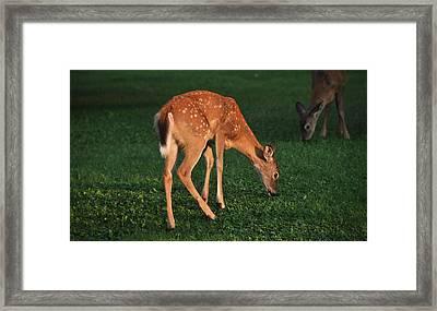 Fawn At Dusk Framed Print by John Ricker
