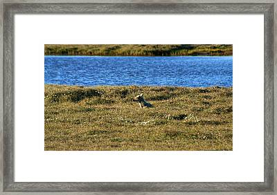 Fawn Caribou Framed Print by Anthony Jones
